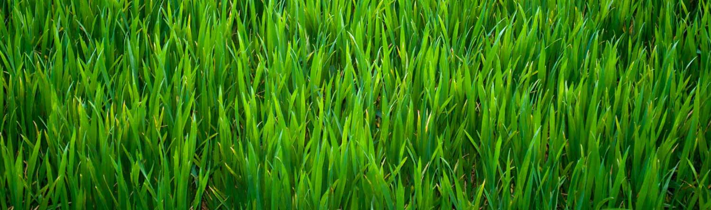 Grass-sm